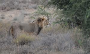 central kalahari lion