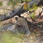 Leopard seen relaxing