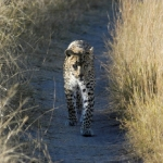 leopard-walking