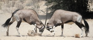central kalahari gemsbok