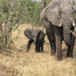 Elephant young