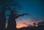 Planet Baobab sunsets