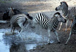 Zebra at Central Kalahari Lodge