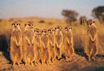 Central Kalahari meerkats